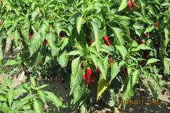 4 Piment pour Paprika